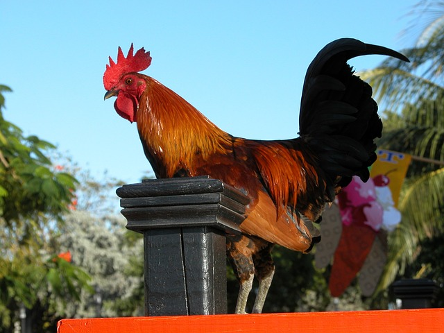 Meet the chickens of Key West on your Florida vacations.